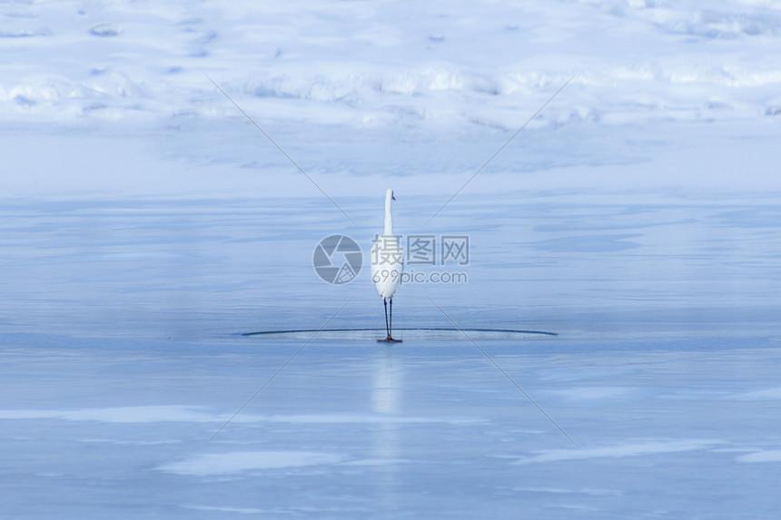 冰湖上孤独的白鹭图片