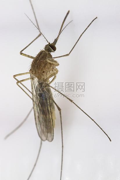 昆虫的特写蚊子图片