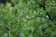 雨后的苹果树图片