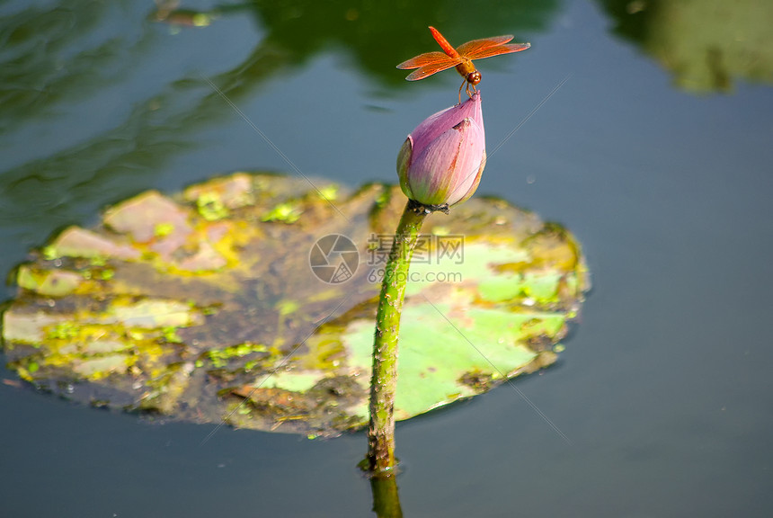 夏天屹立在荷花枝头的蜻蜓图片