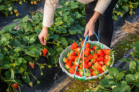 新鲜采摘草莓图片