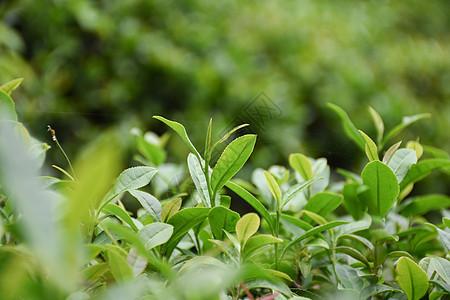 茶园里正在生长的茶芽图片