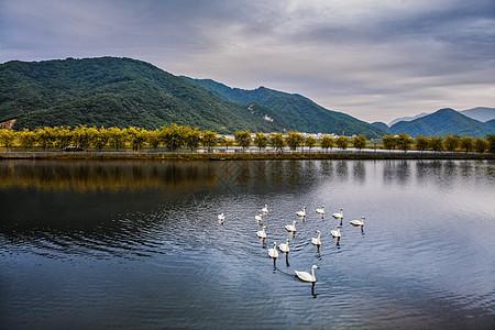 清晨大九湖的白天鹅图片