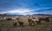 秋天内蒙古大草原上的羊群图片