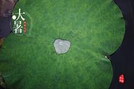 夏季荷叶水滴大暑节气图片