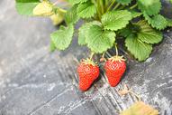 农家乐有机草莓图片