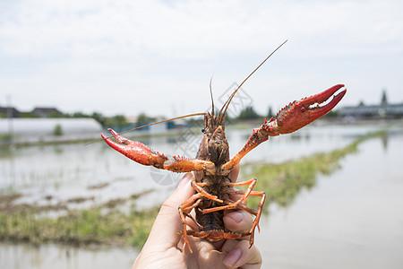 小龙虾养殖图片