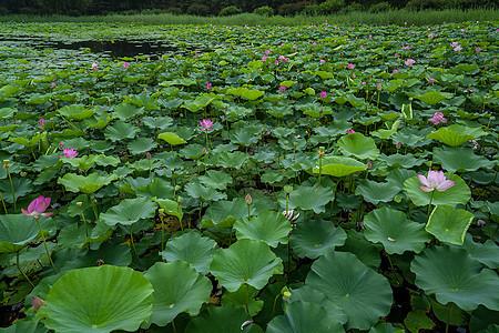 荷花池塘图片