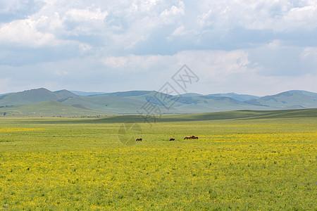 乌兰布统草原金达莱花图片
