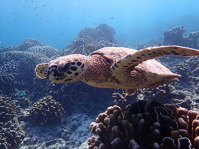 泰国斯米兰群岛的海龟图片