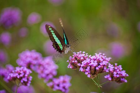 薰衣草上飞舞的蝴蝶图片
