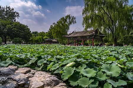日坛公园的荷花池塘图片