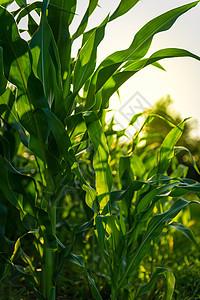 未成果实的玉米图片