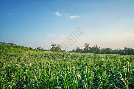 山东田野农田玉米地风光图片