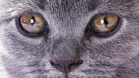 蓝猫宠物图片