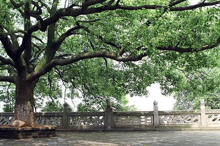 岳阳楼景区的大树图片