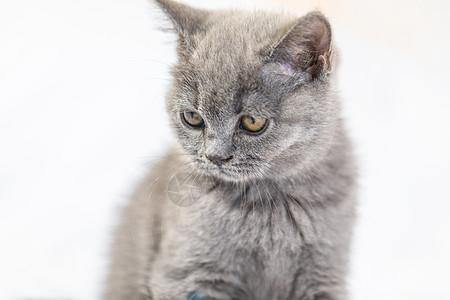 床上的小蓝猫图片