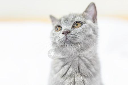 蓝猫特写图片
