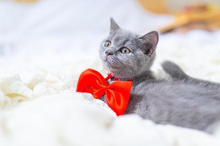 戴蝴蝶结的猫图片