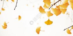 秋天银杏叶图片