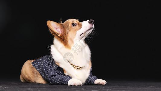 可爱的柯基犬图片