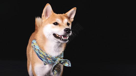 柴犬狗图片