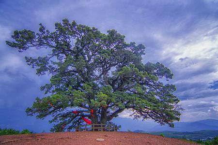 东川龙树大榕树图片