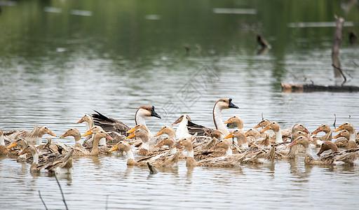 家禽鸭子图片