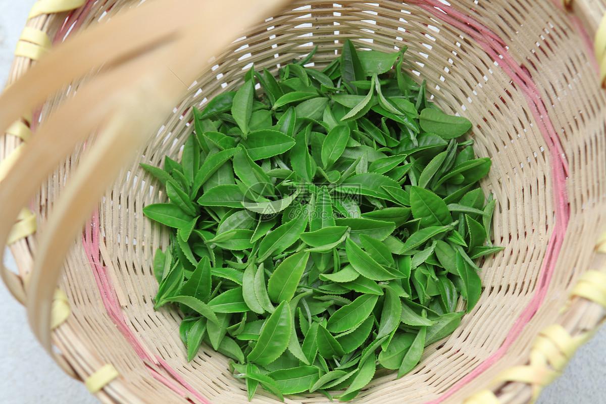 安吉白茶的厂家