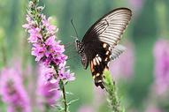 薰衣草上的花蝴蝶授粉图片