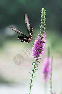 薰衣草上的花蝴蝶图片
