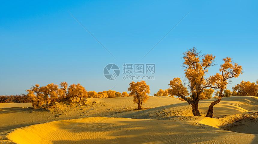沙漠胡杨图片