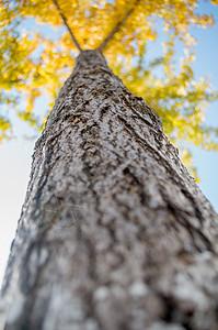 深秋的银杏图片