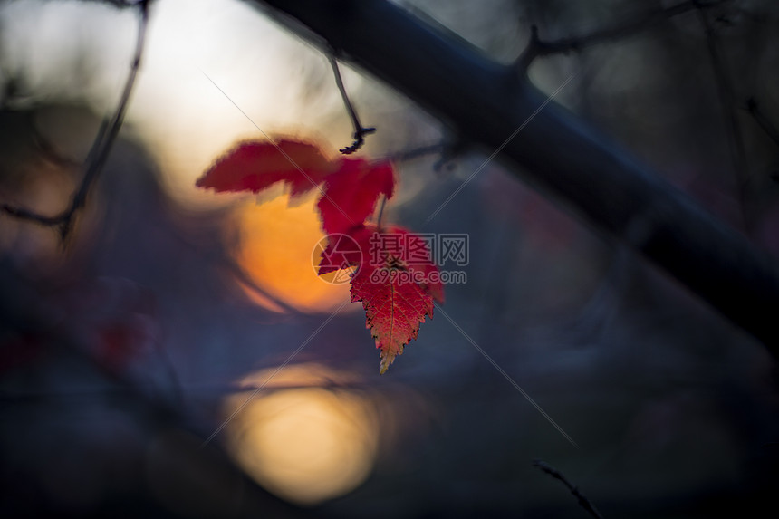 秋色的红叶图片