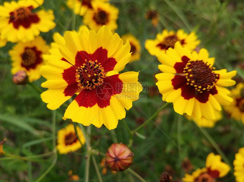 蛇目菊花图片