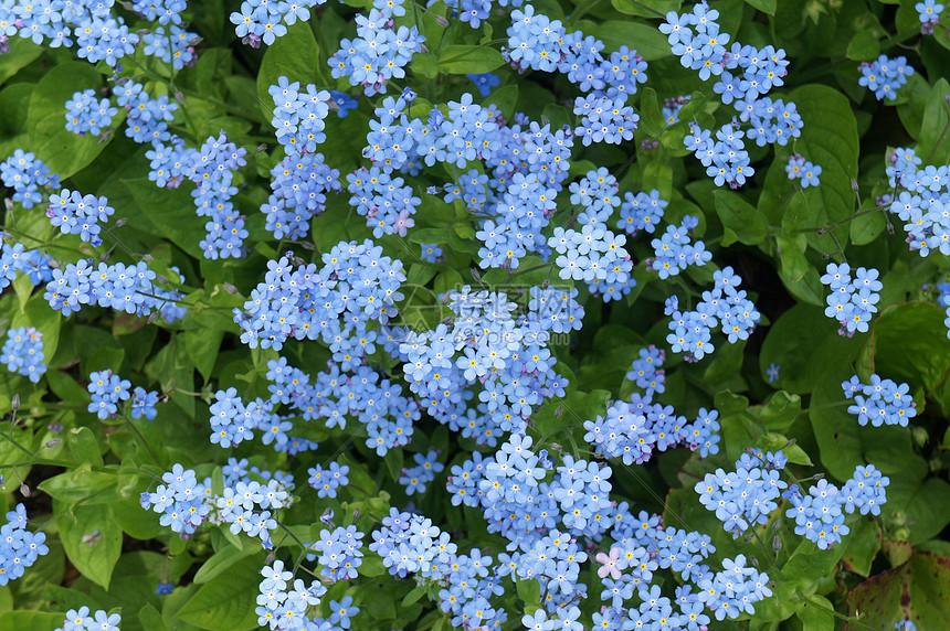 蓝色小野花图片