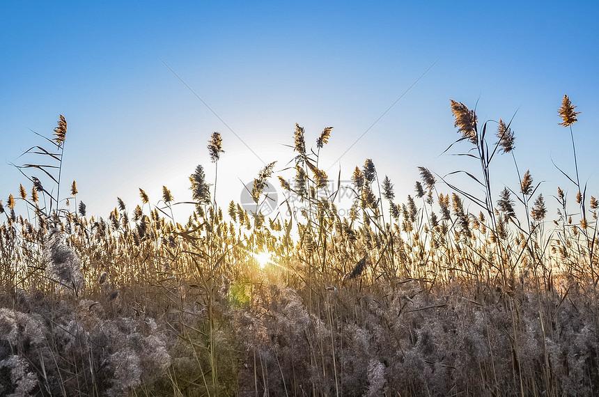 秋天的阳光穿过芦苇图片