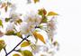 春季盛开的樱花图片
