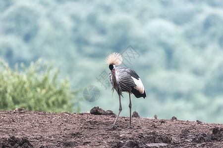 非洲肯尼亚野生鹤图片