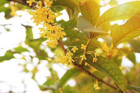 秋天的桂花香气四溢图片