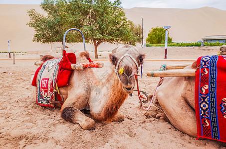 甘肃敦煌鸣沙山骆驼图片