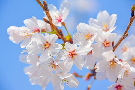 上海宝山顾村公园樱花图片