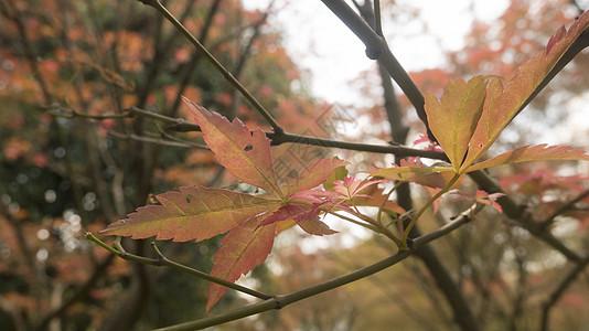 秋之枫叶图片