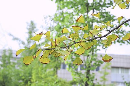 秋天的银杏树银杏叶图片