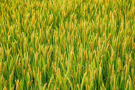 芒种时节稻田图片