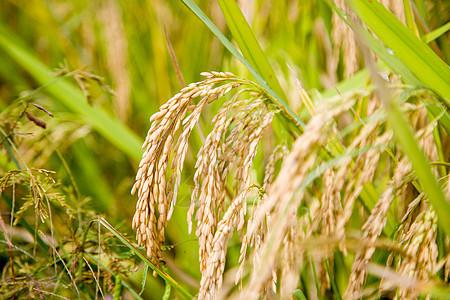 芒种时节稻谷图片