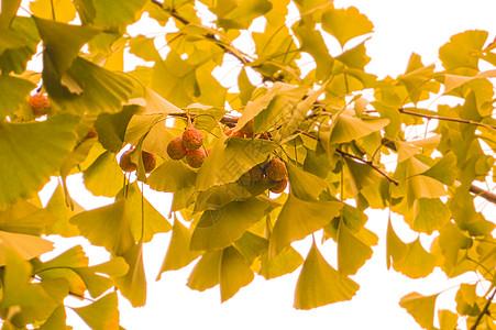 银杏果银杏树秋果图片