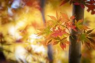 秋天的红叶图片