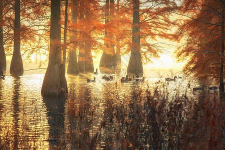 红色的水杉树图片