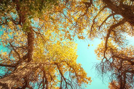 额济纳旗胡杨树图片